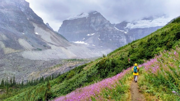 Slopes of pink fireweed, an edible plant of Alberta.